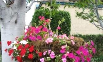 Квіткові водоспади і живопліт: створюємо Ампеліо