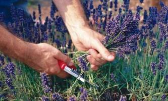 Як і коли збирати лікарські трави і лікувальні рослини