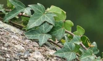 Плющ звичайний в кімнатних умовах: вирощування, догляд, розмноження