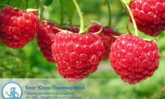 Користь малини - омолодження, захист від грізних захворювань і не тільки ...