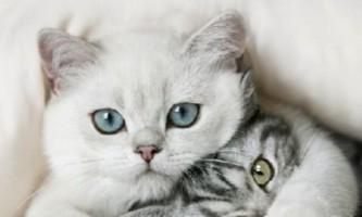Скільки триває вагітність у кішок? Як вона протікає?